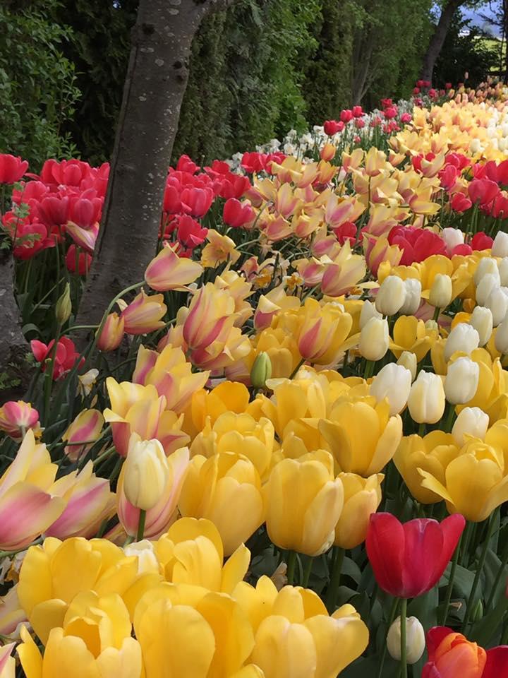 tulipes, galerie d'image qui sommes-nous