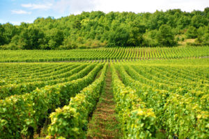 activité, division de la vie, agriculture & viti-vinicole vignes